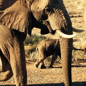 namibian_elephants